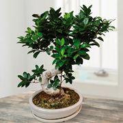 Foglie di Ficus retusa