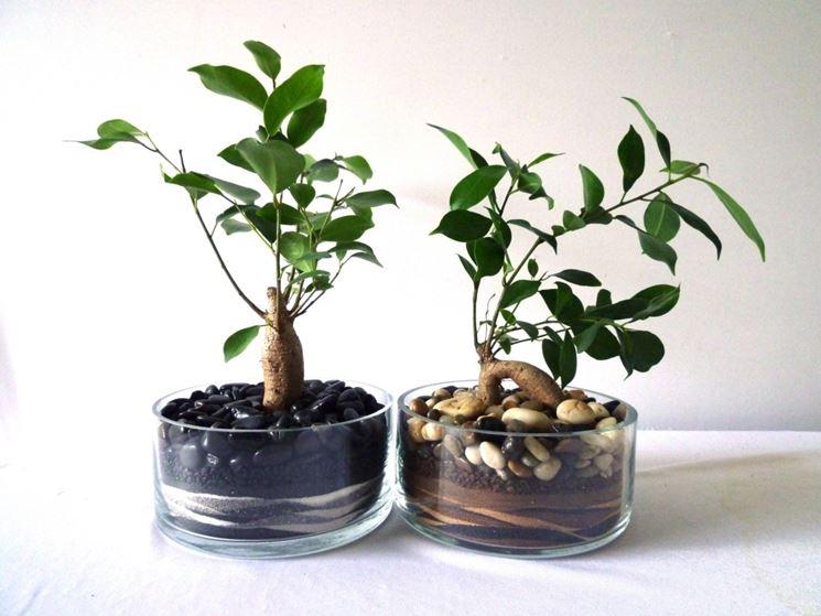 Fogliame di Ficus retusa