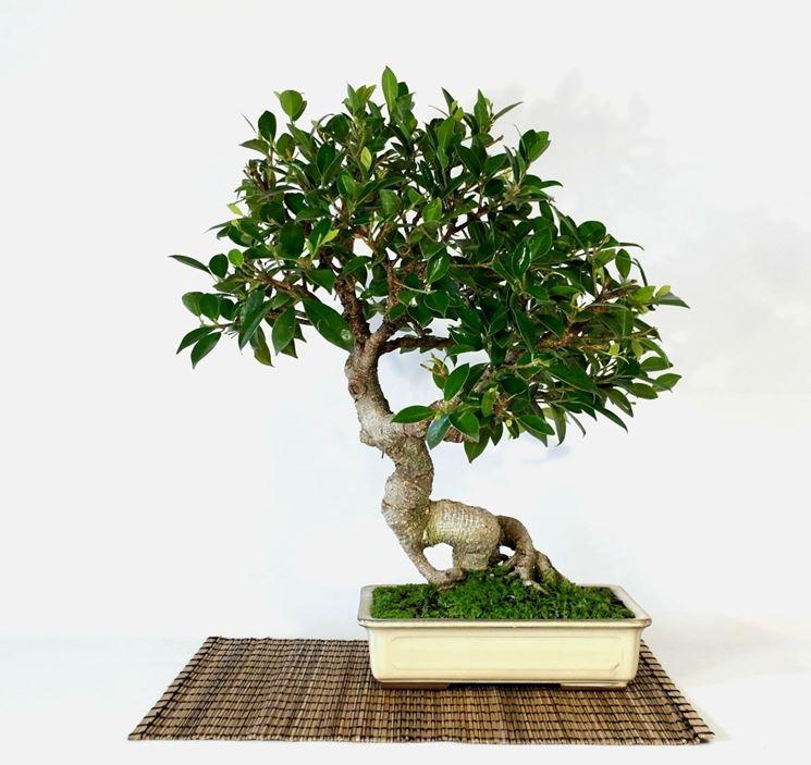 Esemplare di Ficus retusa