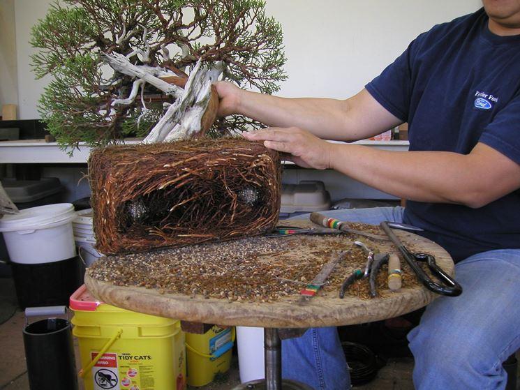 Radici bonsai