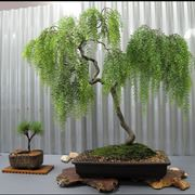 Bonsai salice piangente