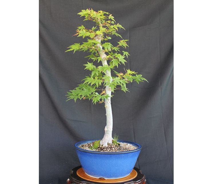Esemplare bonsai interno