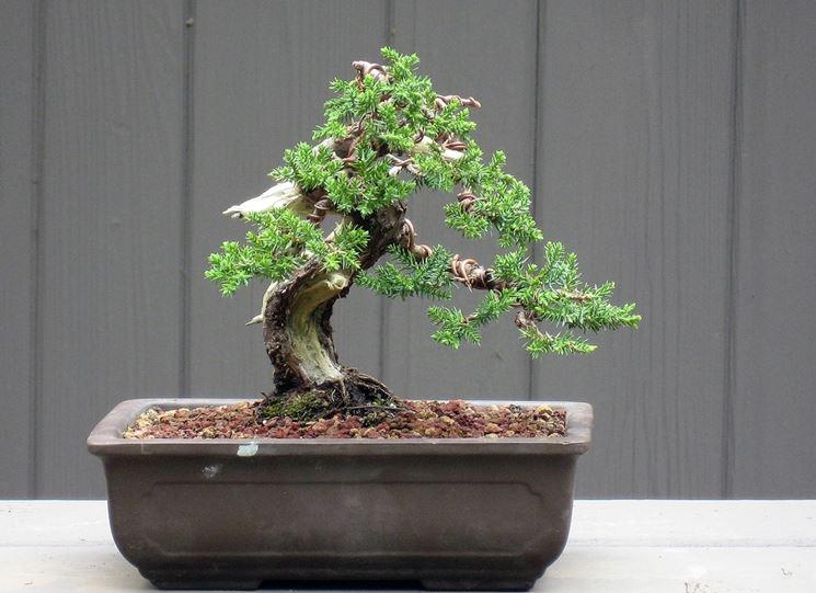 vaso con bonsai