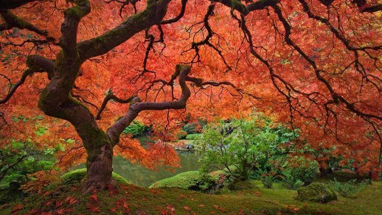Acero giardino