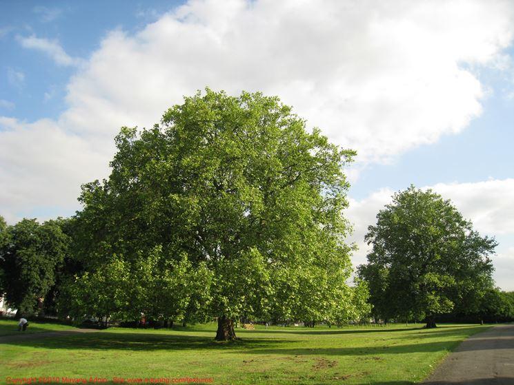 esempio di albero a foglie caduche