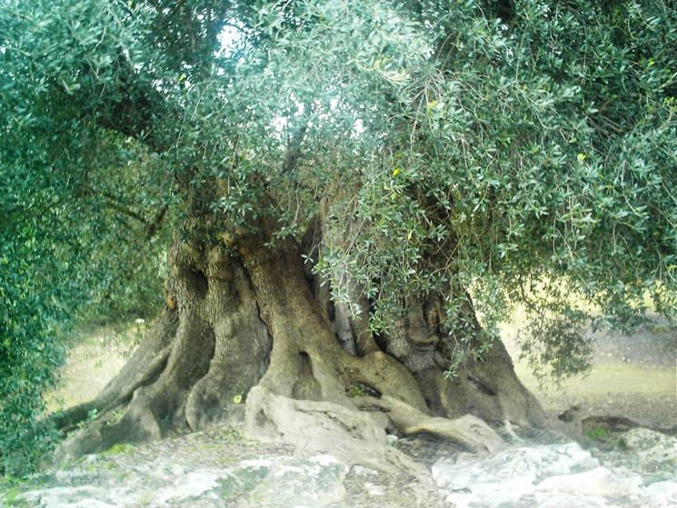 Pianta di olivo gigante