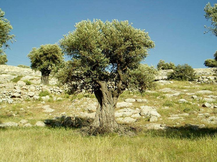 Olivo tipico della flora italiana