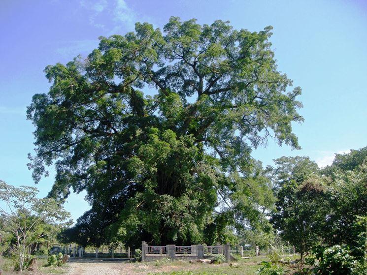 esempio di albero millenario