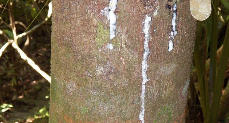 Resina su un tronco