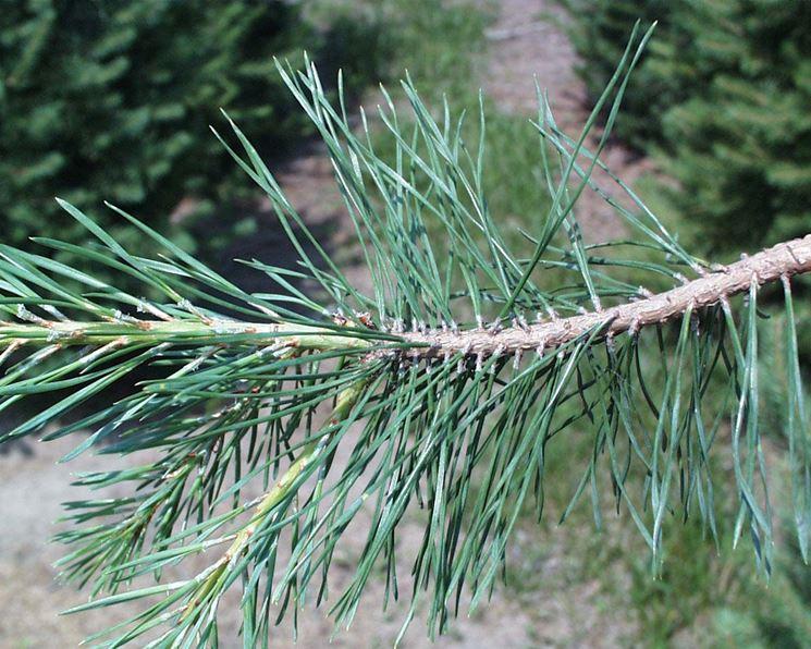 Ramo di un albero resinoso