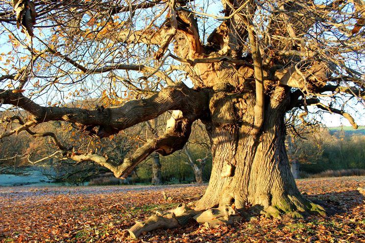 esempio albero secolare