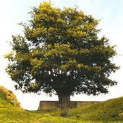 Esemplare di alberi ad alto fusto