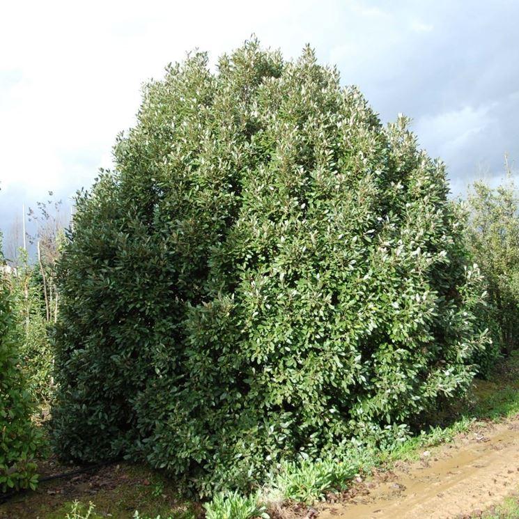Alcuni alberi di quercia