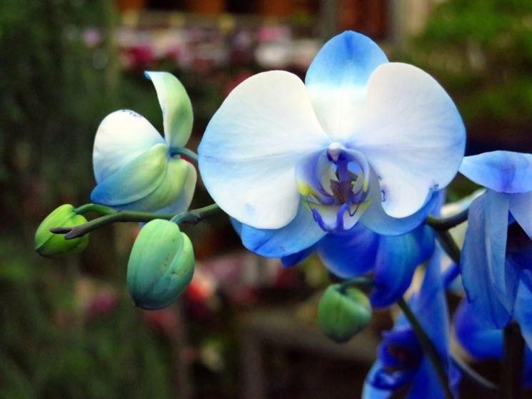 Fiore orchidea blu