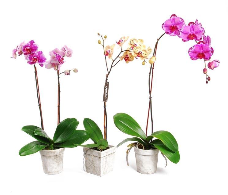 varietà orchidee