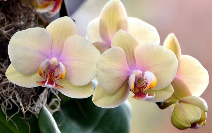 Fiori orchidee