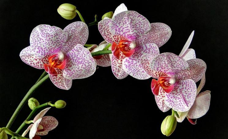 Foglie di orchidea