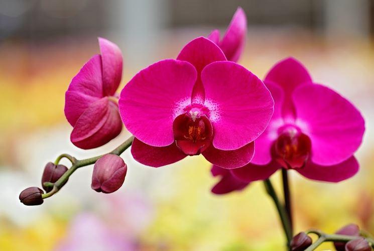 Tipologia di orchidea