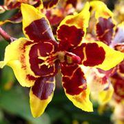 Fiori delle Orchidee Cambria