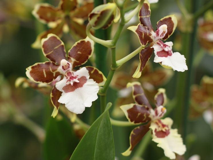 Esemplari di Orchidee Cambria