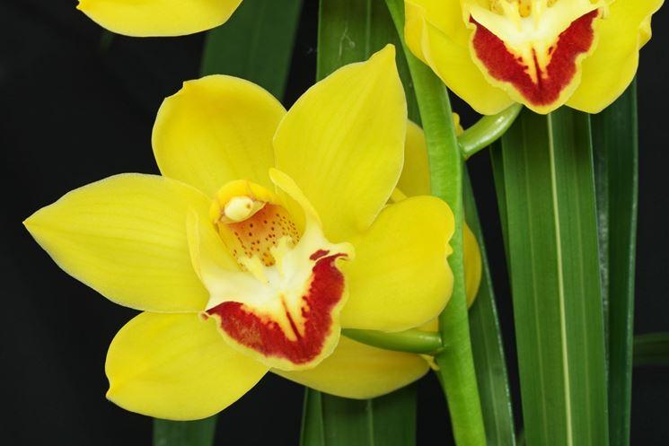 Fiore giallo di Orchidea Cymbidium