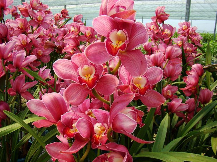 Piante di Orchidee Cymbidium