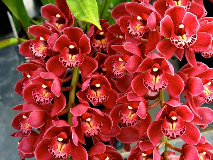 Fiori di Orchidee Cymbidium