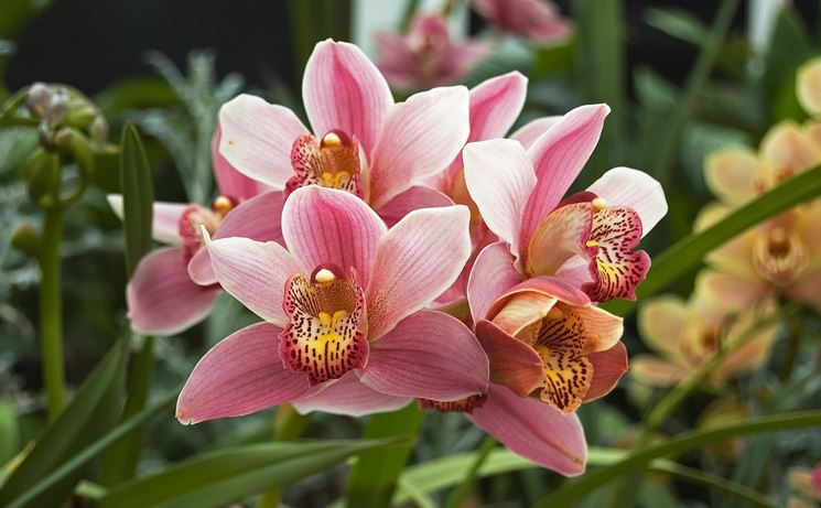 Fiori orchidea cymbidium