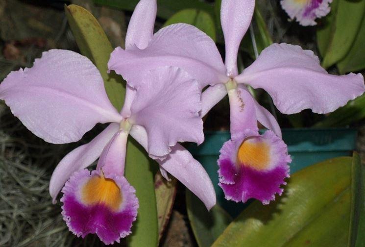 Cura delle orchidee in casa