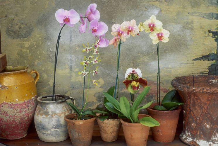Orchidee coltivate in casa