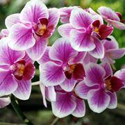 Un esemplare di orchidea italiana