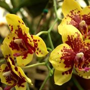 Orchidee Phalaenopsis gialle