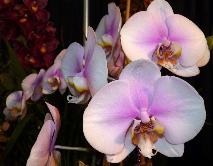 Fiori delle Orchidee Phalaenopsis