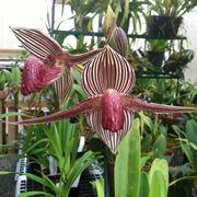 Orchidea rothschild