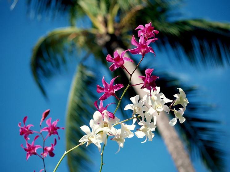 Orchidea hawaiane