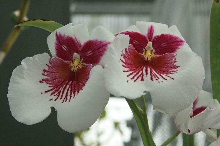 Orchidee rare orchidea coltivazione orchidee for Semi orchidea