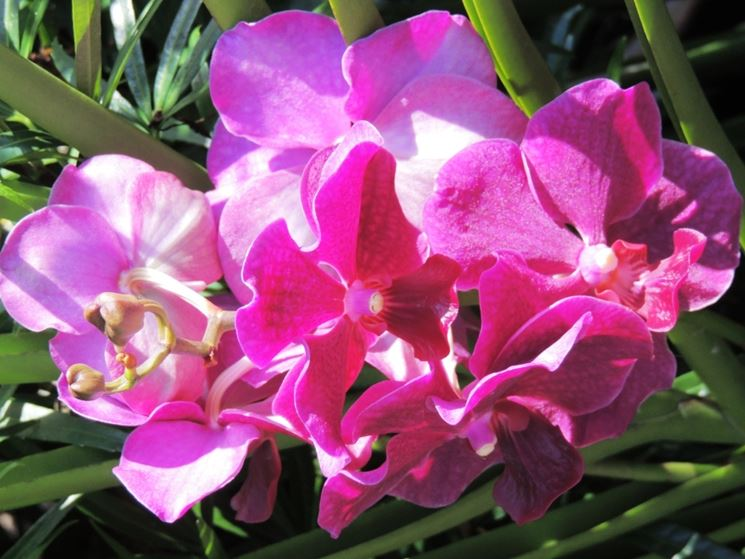 Orchidea Vanda al sole