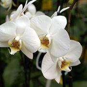 Ramo di orchidee bianche