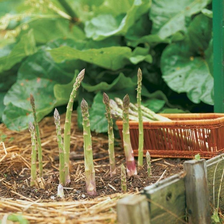 Coltivare asparagi