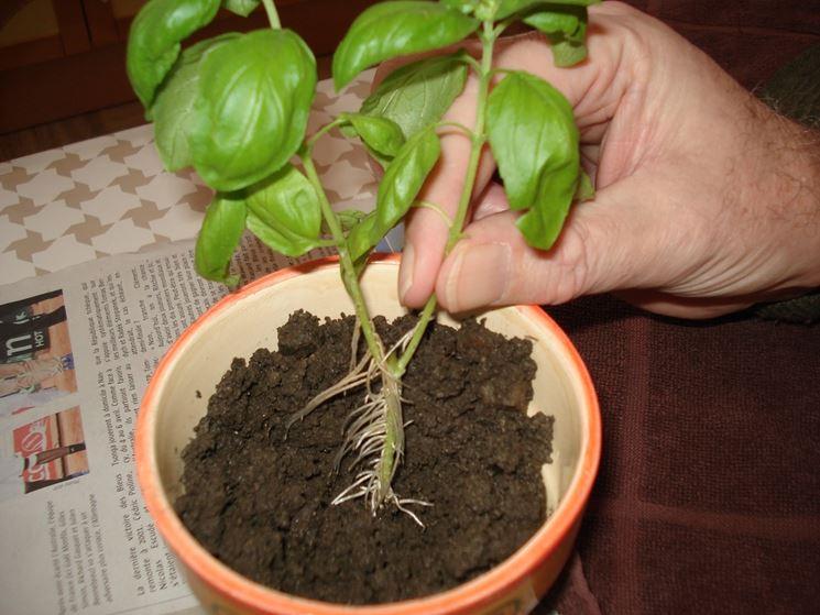 Trapianto basilico vaso
