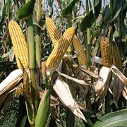 Pannocchie mature di mais
