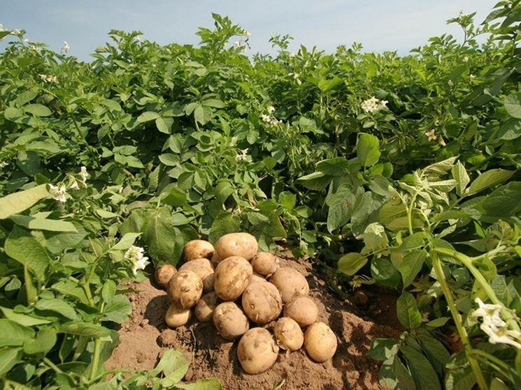 La coltivazione delle patate