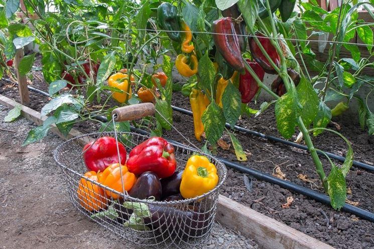 Raccolto peperone