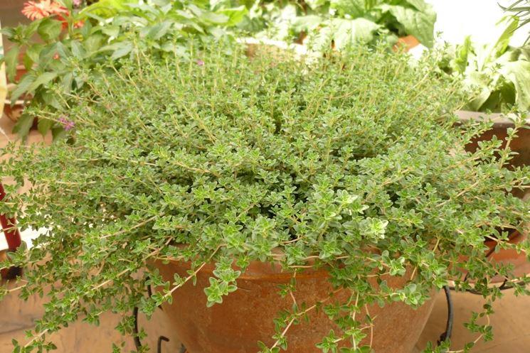 coltivare timo in vaso