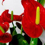 Fiore di Anthurium rosso