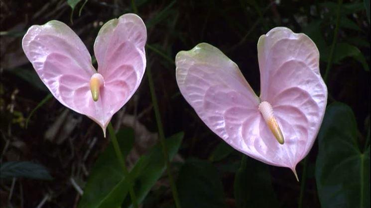 Fiori di Anthurium rosa