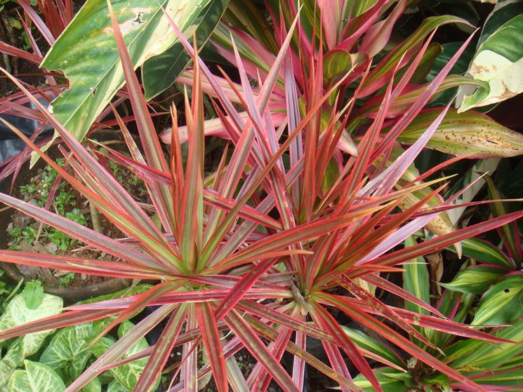 Dracena bicolor