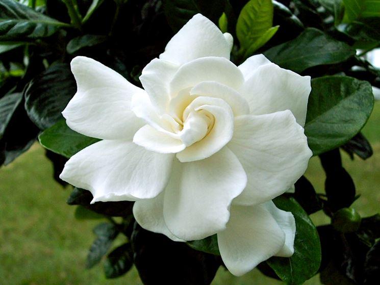Splendido fiore di gardenia
