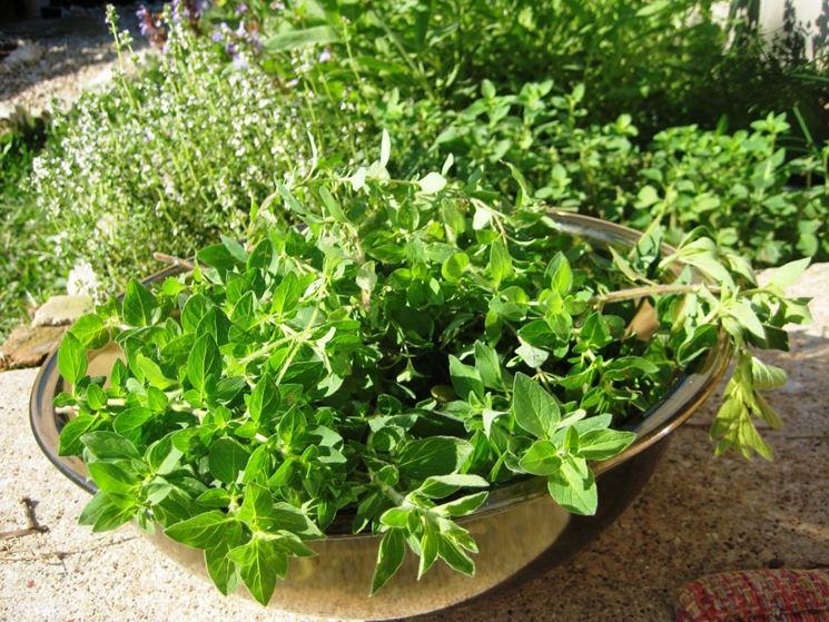 Piante aromatiche piante da appartamento coltivare for Piante e fiori da appartamento