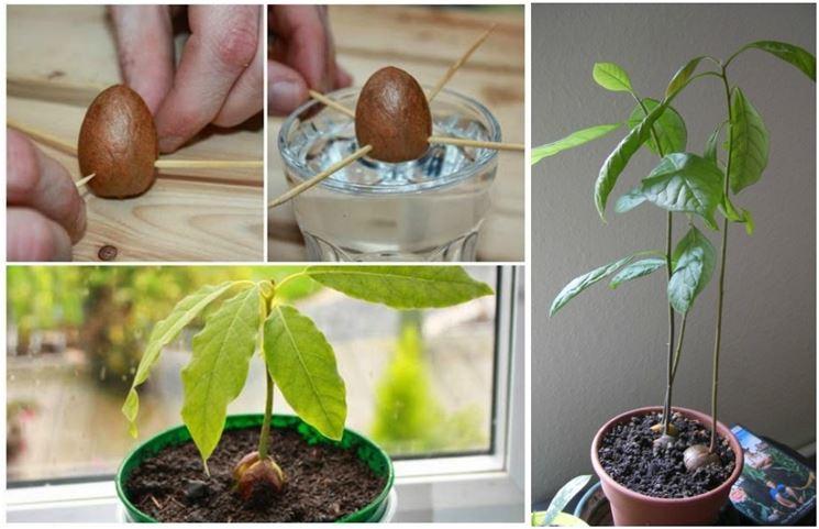 Metodo ideale per far germogliare il seme di avocado